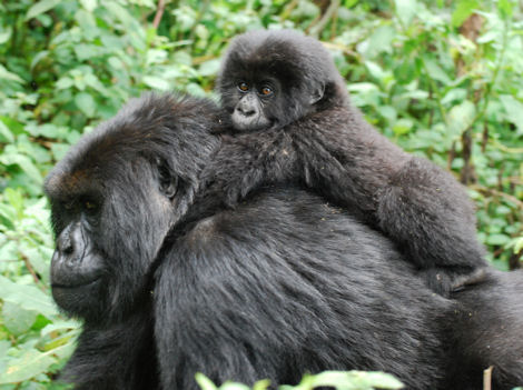 Vacations Magazine: The Rare Mountain Gorillas of Rwanda